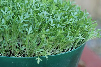 how-to-grow-microgreens-cress