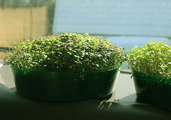 how-to-grow-microgreens-greening-process