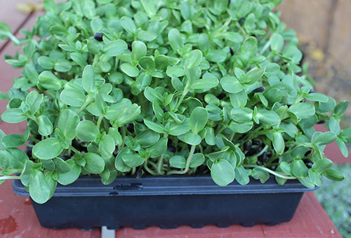 how-to-grow-sunflower-sprouts-tray-microgreen