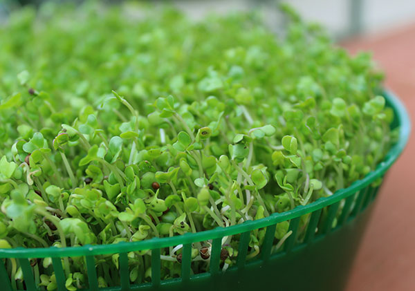 how-to-make-sprouts-sprouter
