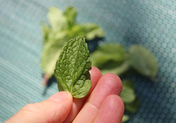 kombucha-mojito-recipe-fresh-spearmint-leaf