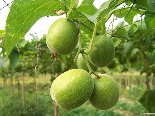 how to grow monk fruit from seed