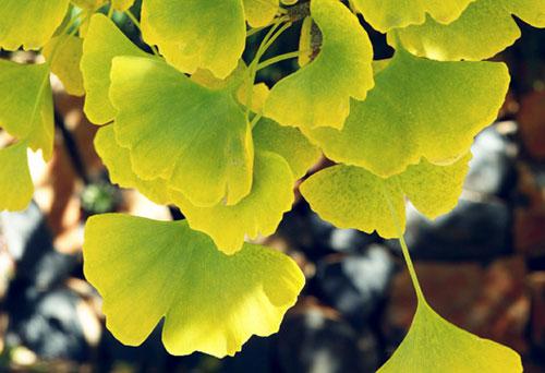 leaves-turning-yellow