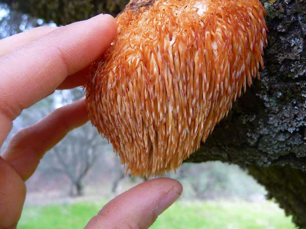lions-mane-mushroom-find