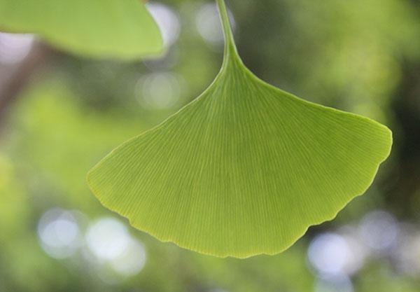 list-of-herbs-ginkgo-biloba