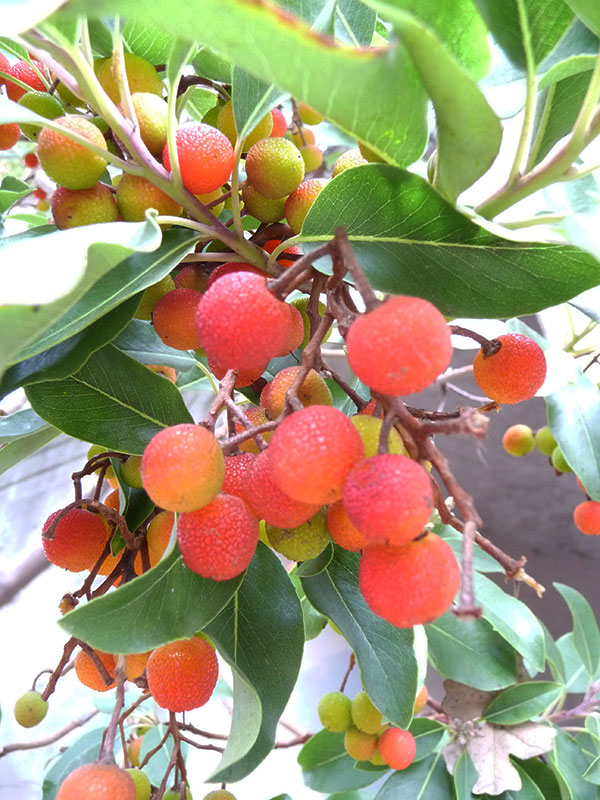 madrone-berries-on-branches