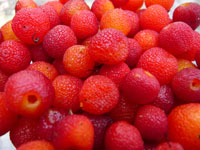 wild madrone berries