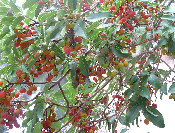 harvesting wild madrone berries, Beautiful flower