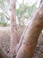 madrone berry tree