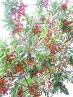 madrone berres on tree