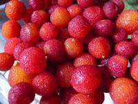 madrone berries harvesting