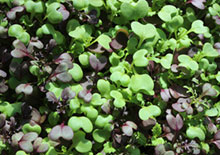 microgreens-related-pages
