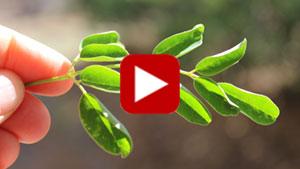 moringa-leaf-vid