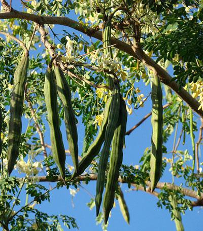 moringa-plant-pods