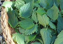 nettle-leaf-related-pages