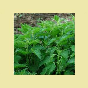 nettle-seeds-earthcare-amazon