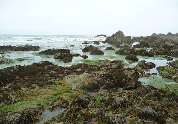 nori-harvesting-seaweed-low-tide