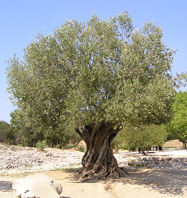 nutritional-benefits-of-black-olive-tree