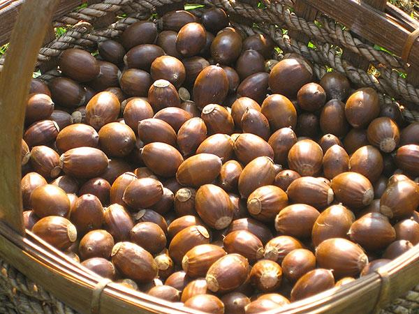 nuts-harvest