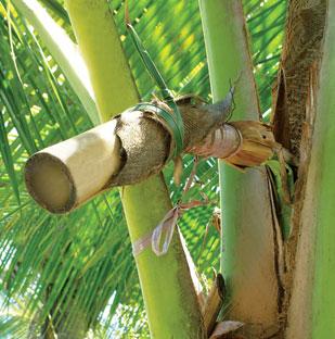 palm-sugar-tree-stem