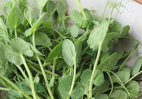 pea-shoots-nutrition-benefits