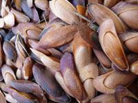 pine nut harvest