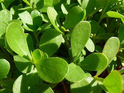 purslane-plant-wild-edible-greens