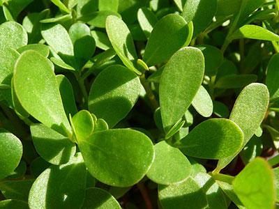 purslane-plant-wild-edible-weed