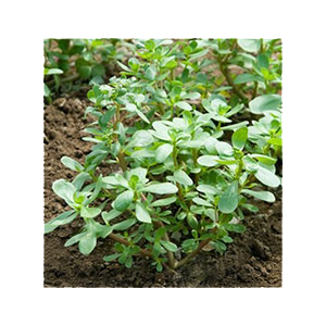 purslane-seeds-daves-amazon