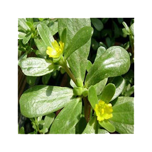 purslane-seeds-outside-amazon
