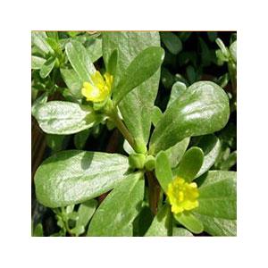 purslane-seeds-outside-amazon