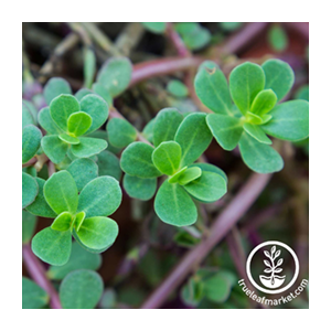 purslane-true-leaf