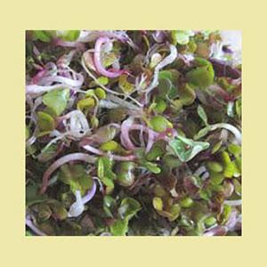 radish-seed-sproutman