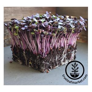 radish-seeds-purple-true-leaf