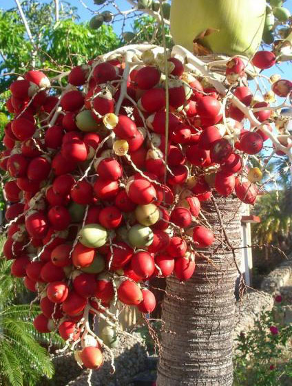 red-palm-fruit-oil-growing
