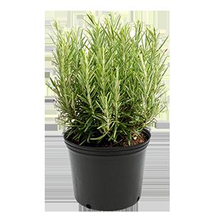 rosemary-plant-starts-amplex
