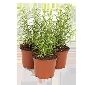 rosemary-plant-starts-three