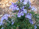 rosemary-flower