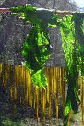 seaweed-hanging