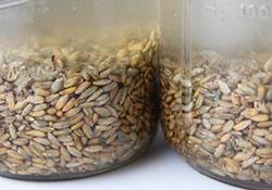 soaking-rye-grain