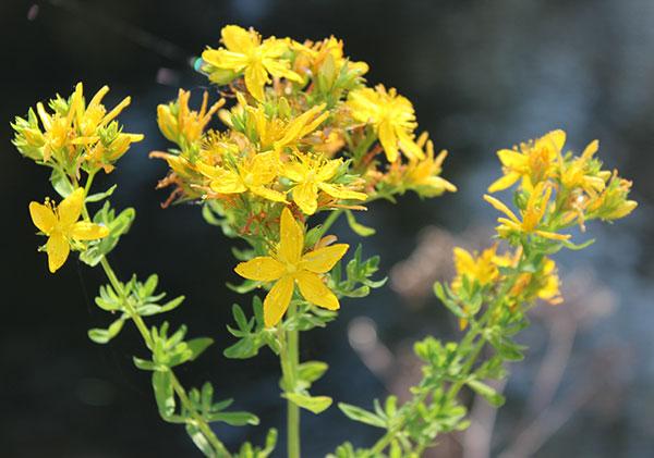 St Johns Wort Plant Benefits