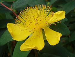 st-johns-wort-plant-ornamental