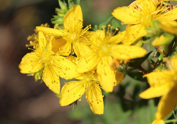 st-johns-wort-plant