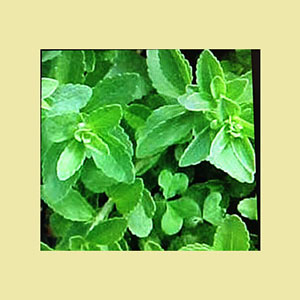 stevia-plant-starts-amazon