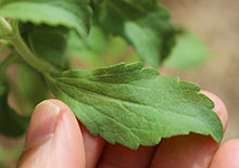 stevia-related-page