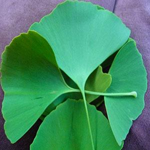 stimulant-herbs-ginkgo-bilboba