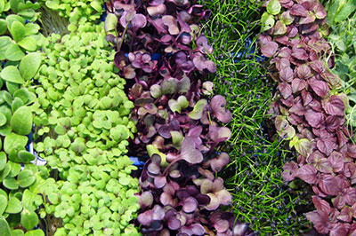 tray-of-microgreens