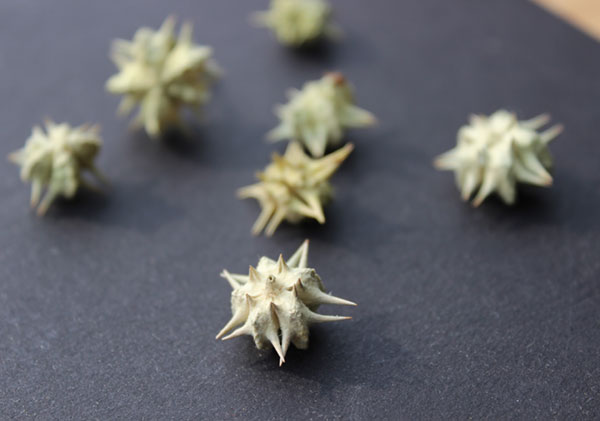 tribulus-terrestris-fruit-seed