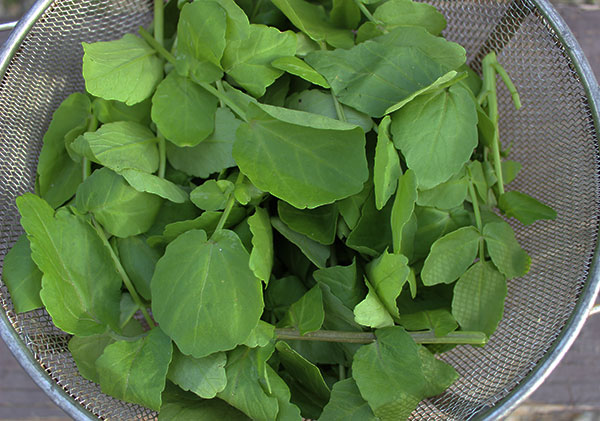 washed-and-strained-wild-watercress