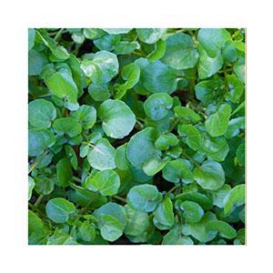 watercress-seeds-amazon